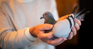 Pigeon sells for record $1.9 mln to Chinese fancier